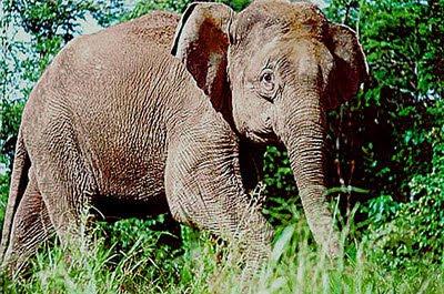 ช้างแคระบอร์เนียว (Borneo Pygmy Elephant)