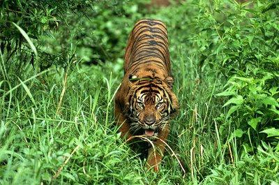 เสือโคร่งสุมาตรา (Sumatran Tiger)