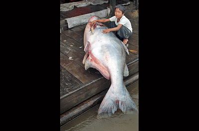 ปลาบึก (Mekong Giant Catfish)