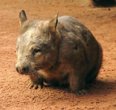 วอมแบทจมูกขนเขตเหนือ (Northern Hairy-Nosed Wombat, Lasiorhinus krefftii)