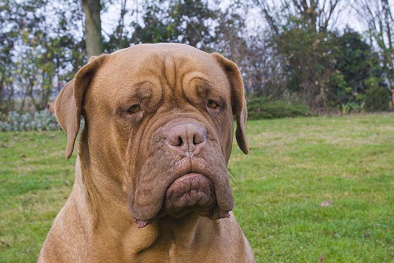 dogue de bordeaux cross pitbull. Dogue de Bordeaux