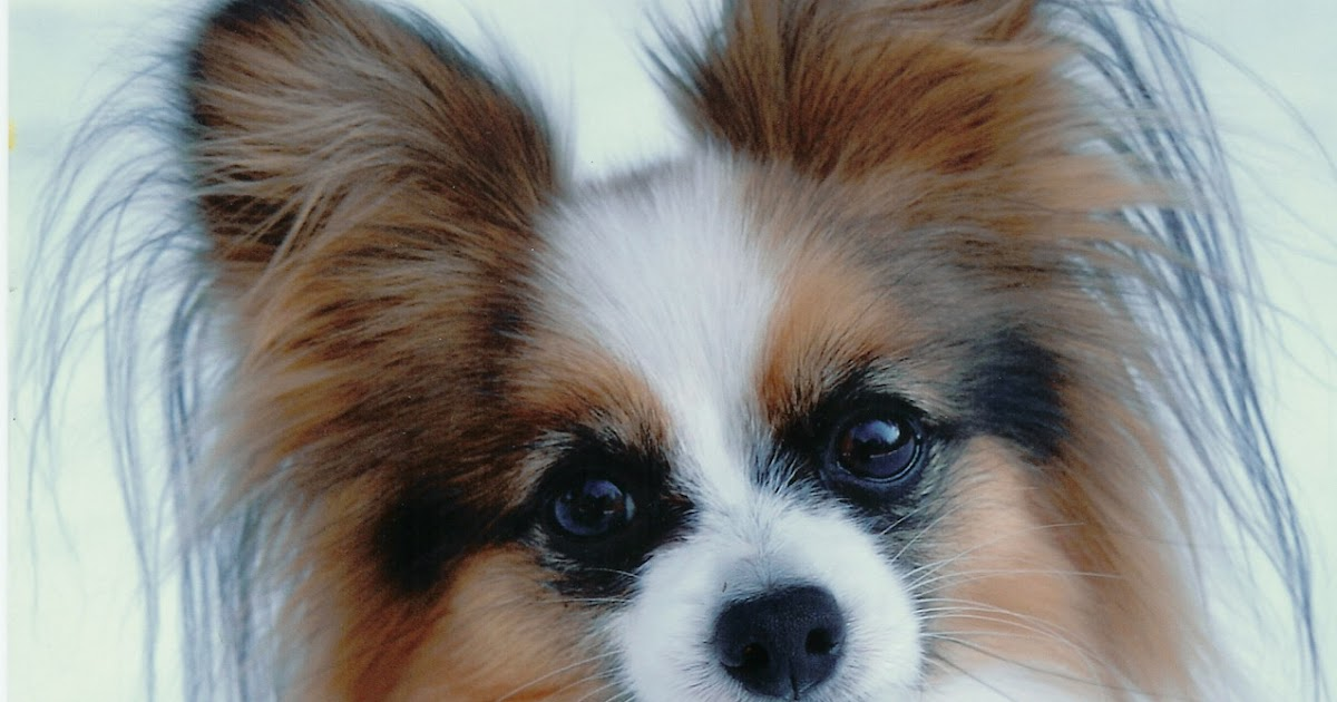 Papillon Pictures Of Dogs And All About Dog