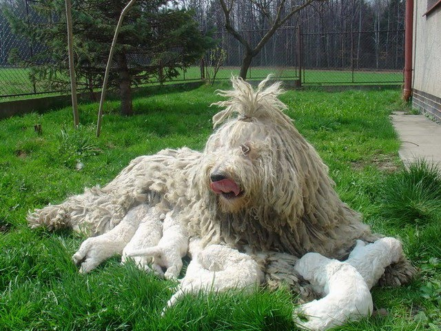 Komondor:Pictures of Dogs and All About Dog