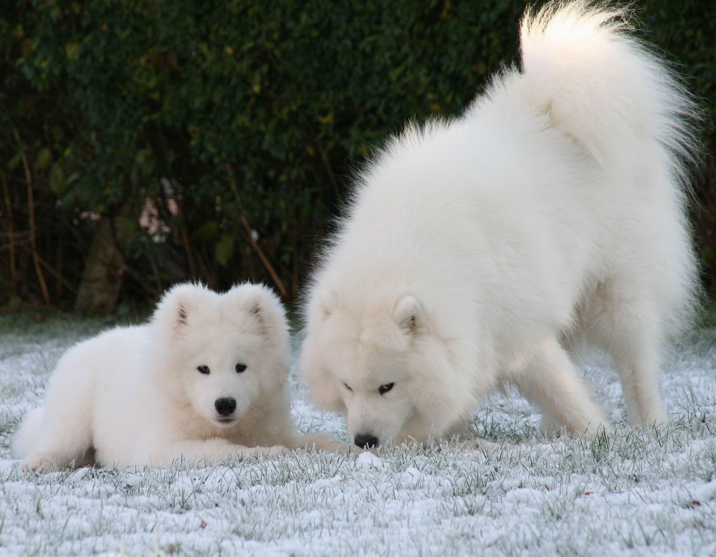 Adult and puppy Samoyeds playing outdoor in the snow