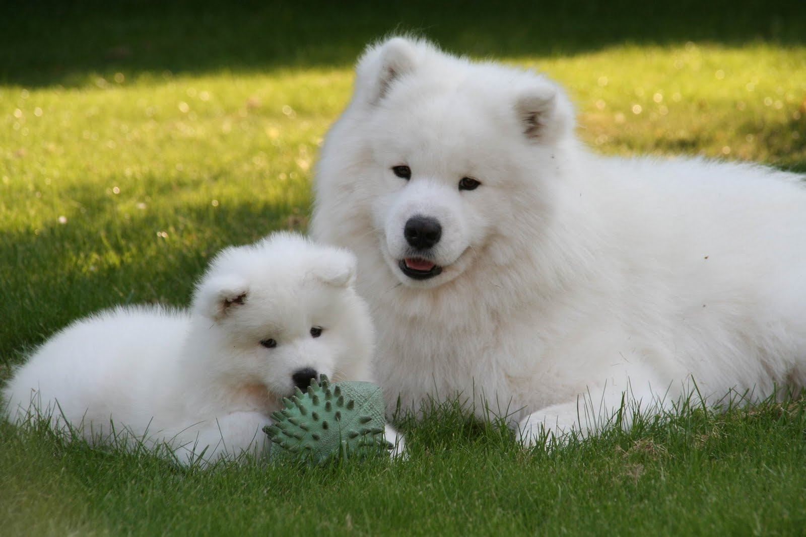 Labrador Samoyed Cross