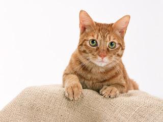Kucing Dijual