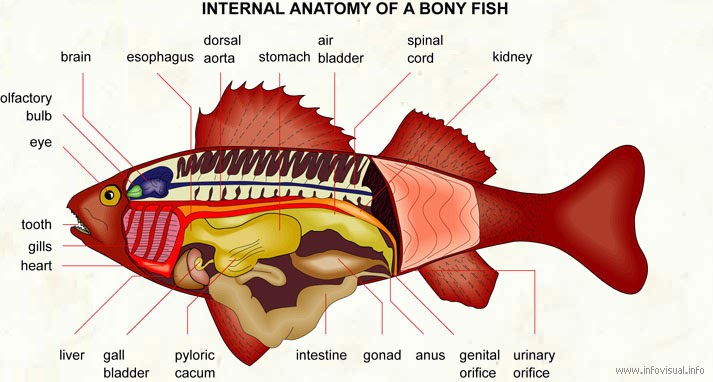 Fish Index Internal Anatomy Of A Bony Fish