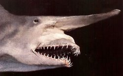 Goblin Shark
