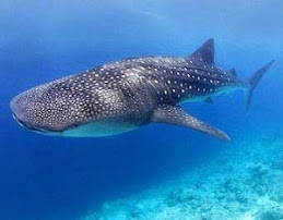 Tiburon ballena, Yucatán.