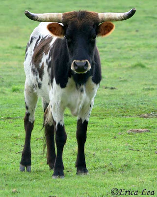 longhorn cow, cattle, spotted cow