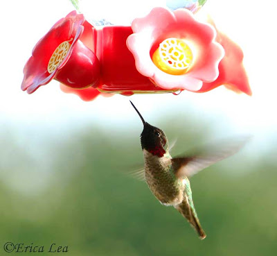 anna's hummingbird, bird, flying, feeder