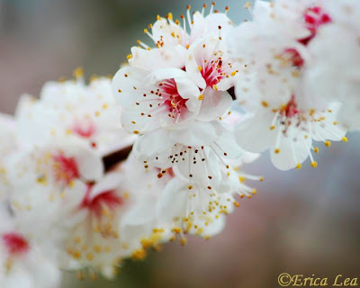 fruit tree blossoms, white flowers, branch