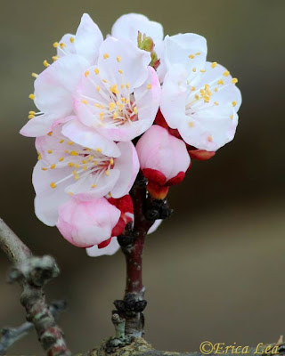 fruit tree blossoms, white flowers