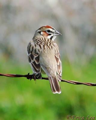 Lark Sparrow, bird