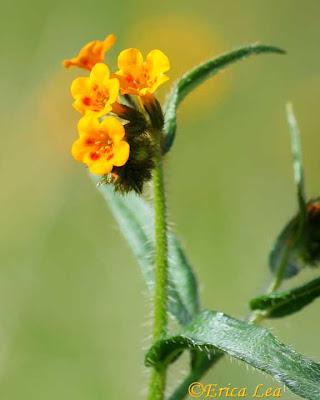 fiddleneck, wildflower, flower