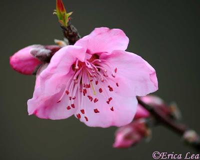 pink flower, fruit tree blossom, bloom