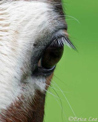horse eye, blaze, macro