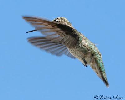 anna's hummingbird in flight