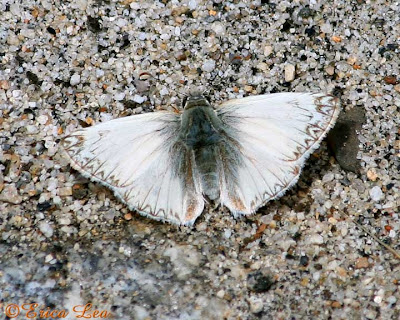 large white skipper