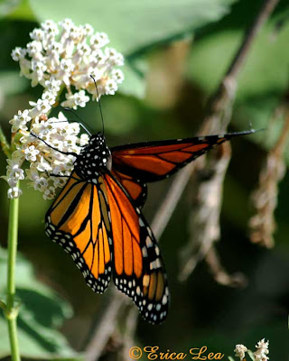 sun, monarch butterfly, wings