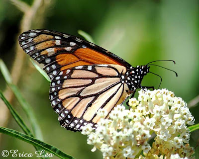 monarch butterfly side