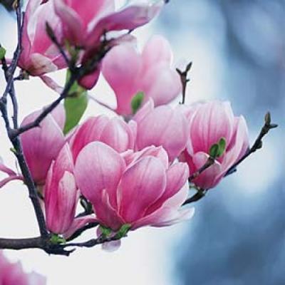 http://3.bp.blogspot.com/_YM59wNUkWbc/S693jN8JBJI/AAAAAAAAAXo/0JNw0OhMUcw/s1600/Botanica-Magnolia-53886.jpg
