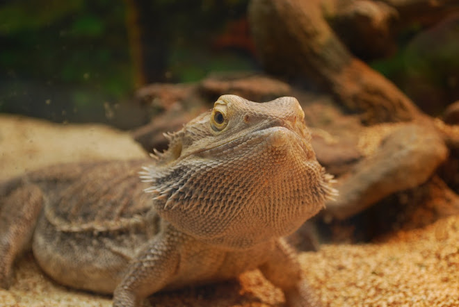 Charlie...the Family Bearded Dragon