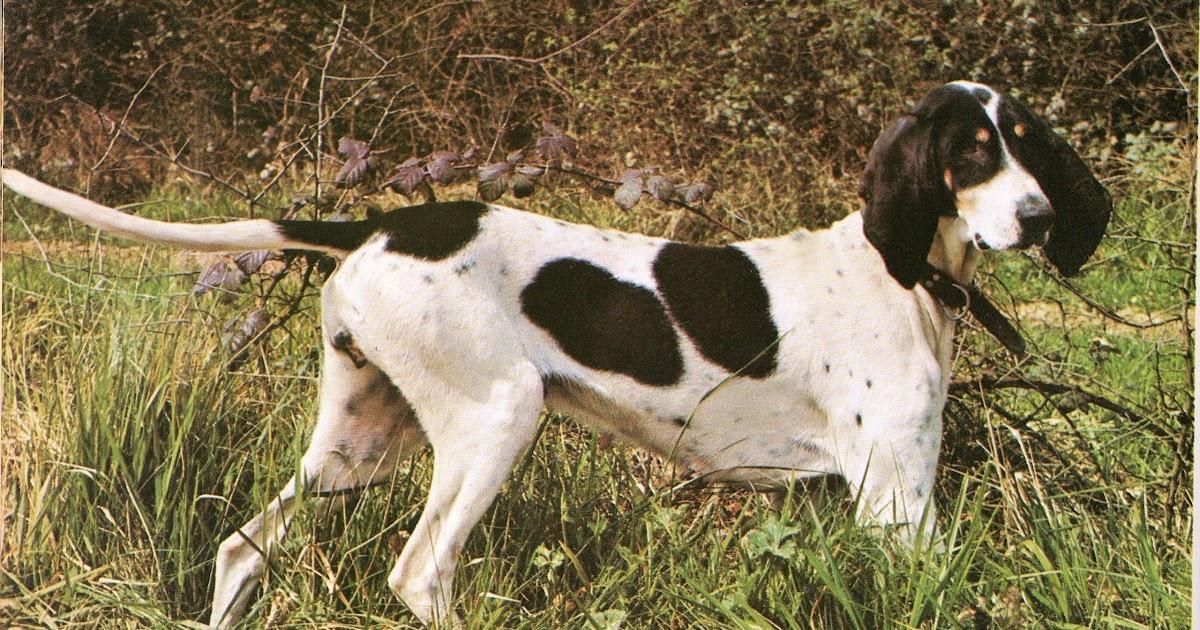dressage et élevage de chien: Chien Arégeois