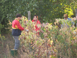 Collecting grapes