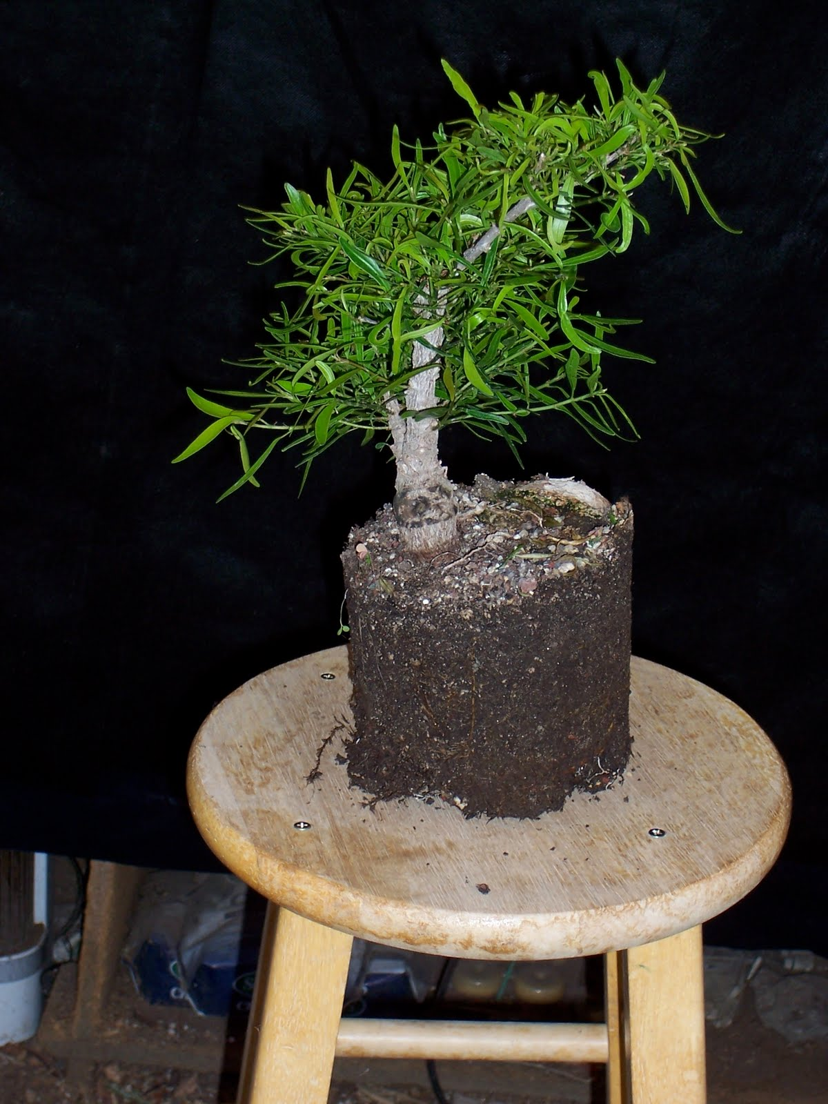 Bonsaibp39s Bonsai Blog Good Things Come In Small Packages