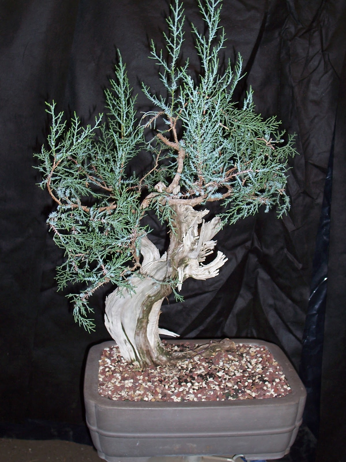 Bonsaibp39s Bonsai Blog Restyling A California Juniper