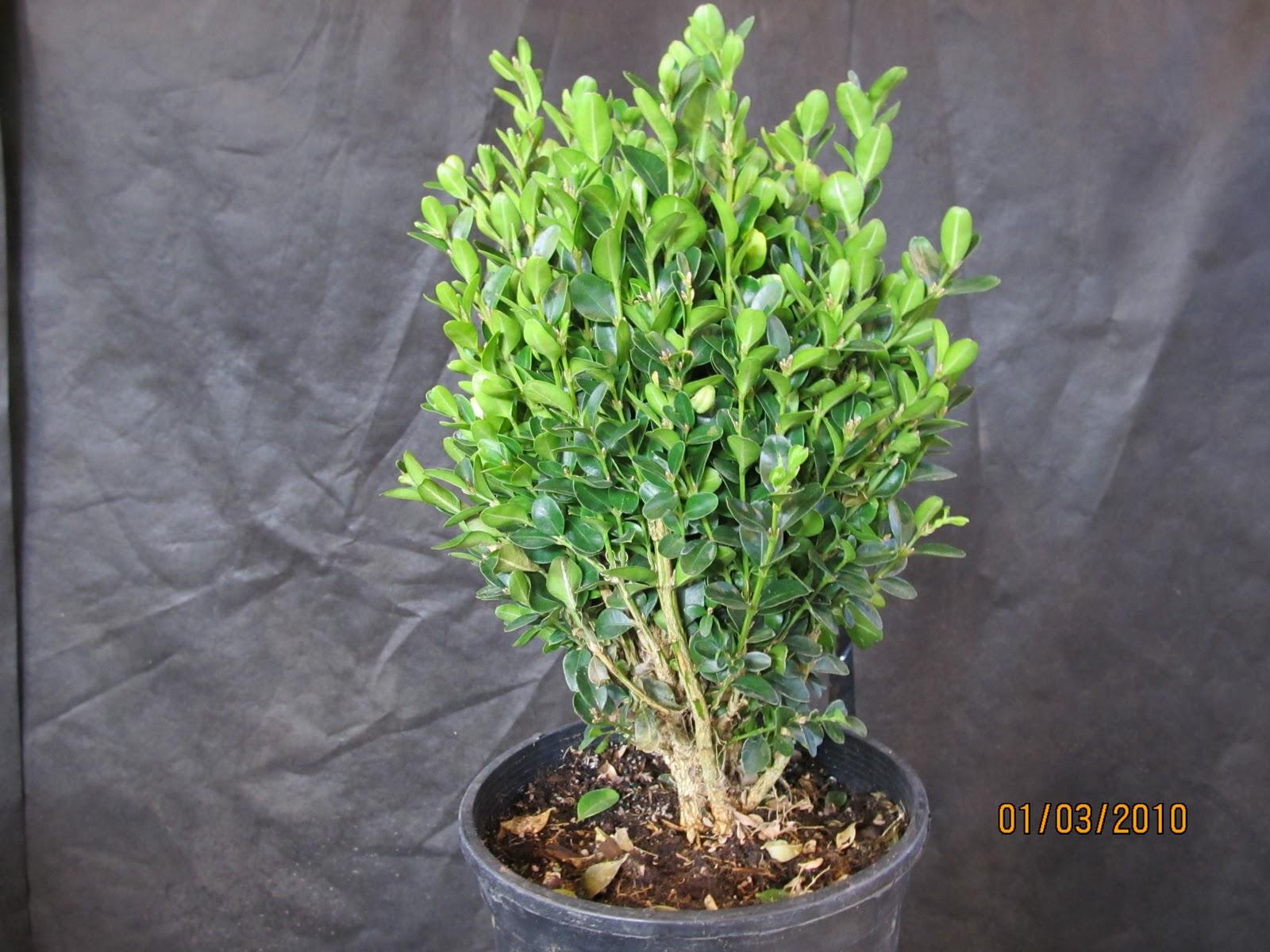 Bonsaibp39s Bonsai Blog Starting Your Bonsai With Nursery Plants