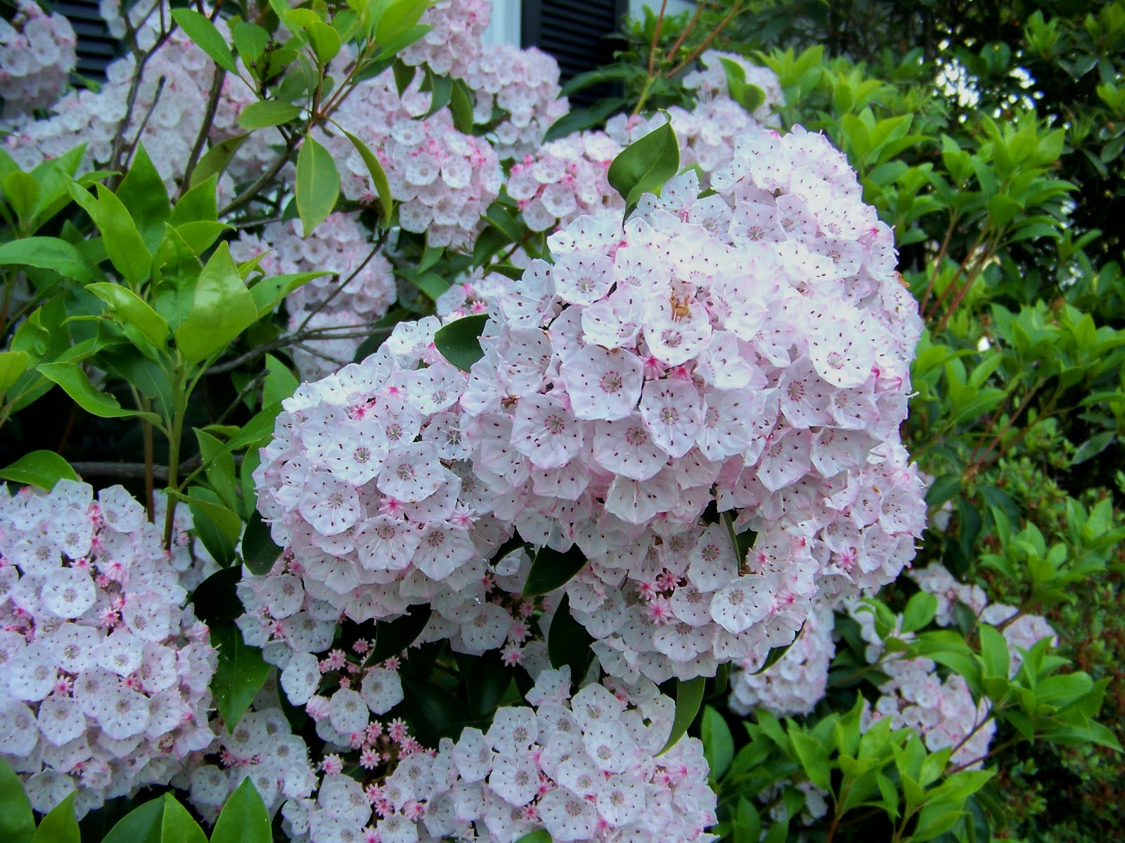 A Garden in Bethlehem PA Mountain Laurel