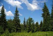 Păduri de conifere