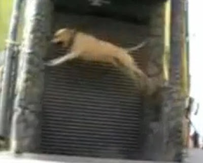 TreT - Parkour Dog From UKRAINE Seen On www.coolpicturegallery.us