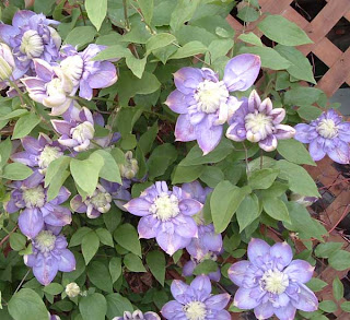 The madsen garden walmart clematis walmart clematis name clematis variety clematis polish spirit color lavender type perennial vine height 6 or more sun shade or part sun mightylinksfo