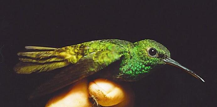BIOTOPO HUMMINGBIRD: Thalurania fannyi