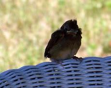 A Baby Cardinal