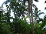 SAFs Biodiversos_Paraty/RJ