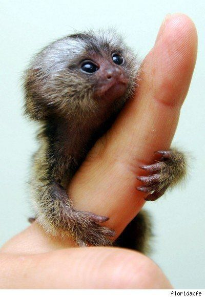 Paranormal And Strange World: Finger Monkey