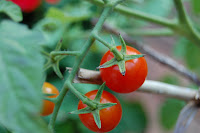 My grape tomato plants. Photo by S.Dever, 08/07. All rights reserved.