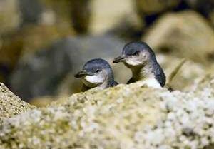 blue penguins oamaru
