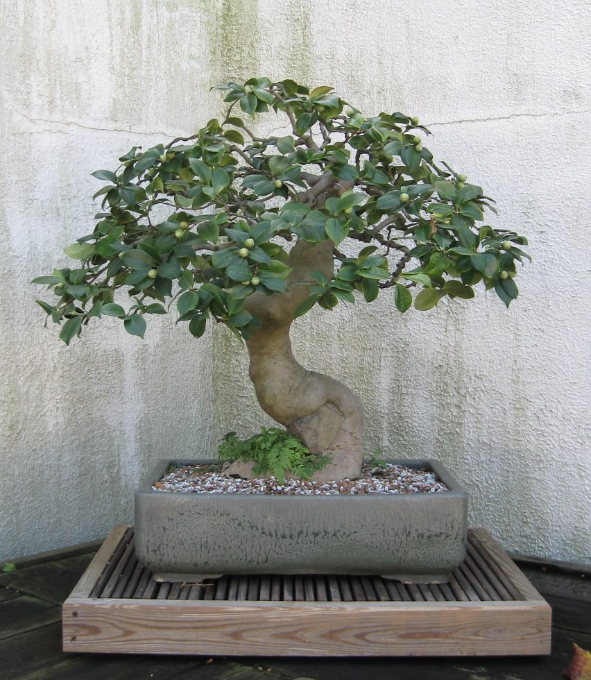 Randuwa The National Bonsai Amp Penjing Museum The National Aboretum