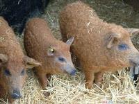 Sheep Pig