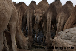 The life of a camel