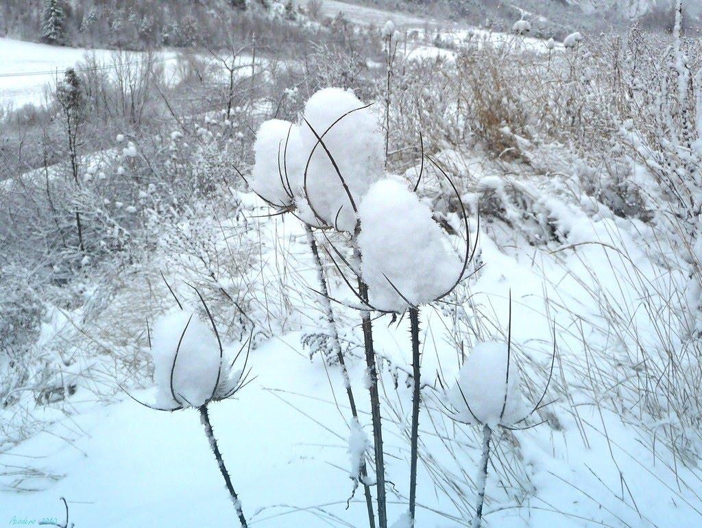 [fleurs+de+neige+Aco+2010+33.jpg]