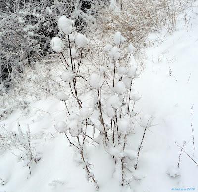 Les Saisons - Page 22 Fleur+neige+Aco++3+2010