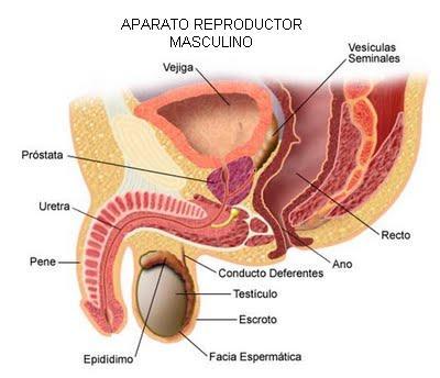 Urología Peruana: Dr. Susaníbar: Eyaculación. ¿Cómo se produce la ...