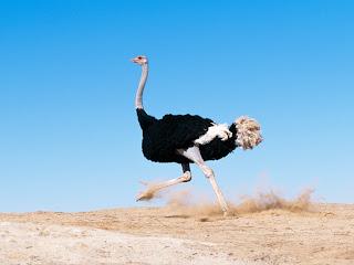 Running Late Ostrich