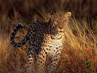 Cheetah Watching